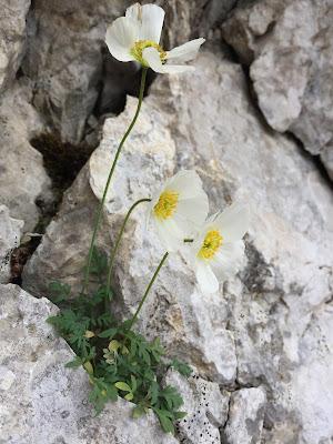 Papaver julicum syn. of Papaver ernesti-mayeri – (Papavero delle Alpi Giulie)