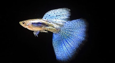 Jenis ikan guppy japan blue
