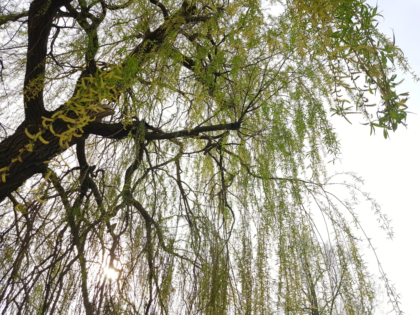 Vondelpark willow trees