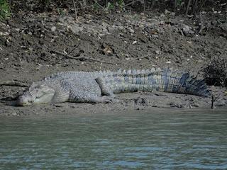 Sunbaking saltwater crocodile
