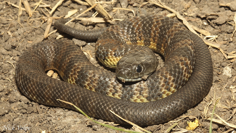Snakes Eating Cows Snakes: Tiger Snake