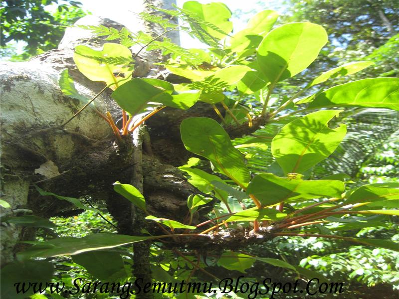Sarang Semut Papua, Khasiat Untuk Kanker, Diabetes, Hipertensi & Penyakit Lainnya