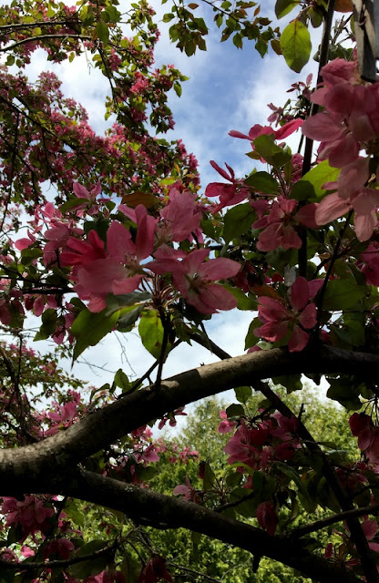 Pink spring blossoms on our flowering crabapple tree.