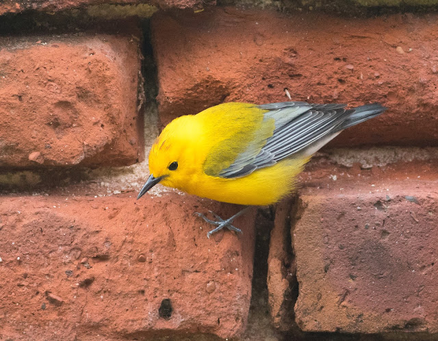 Prothonotary Warbler - Dry Tortugas, Florida