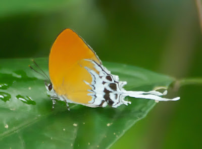 Branded Imperial (Eooxylides tharis distanti)