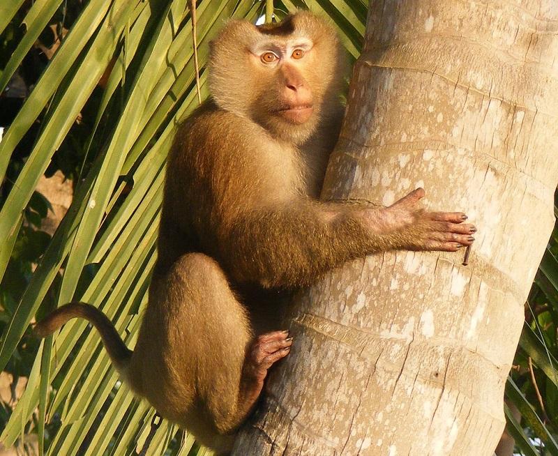 макака (обезьяна)
