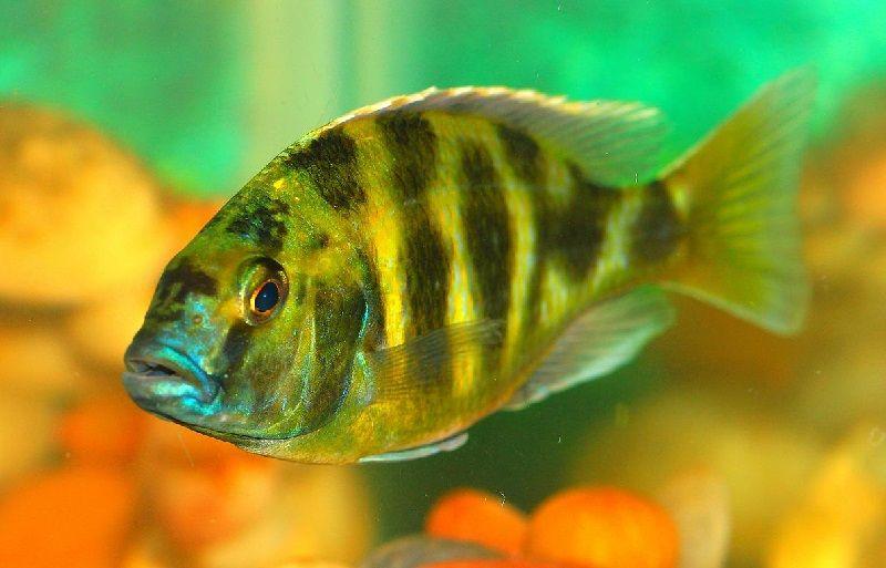 Gambar Jenis Jenis Ikan Cichlid ( Malawi Cichlids )
