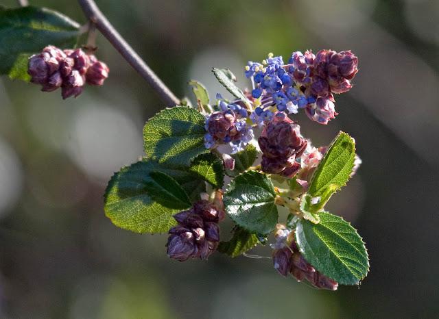 Coast Wild Lilac -- Ceanothus
