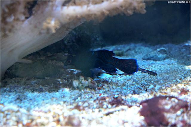 Living Corals: Pez Mandarín