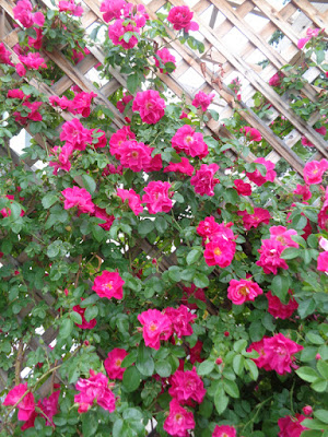 roses in bloom balance in the life
