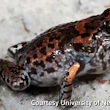 New Groin Flashing Frog Discovered
