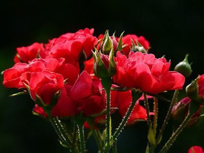 Trandafirii nemuritori dintr-o florarie online Bucuresti