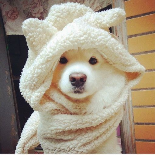 Sweet Samoyed Husky