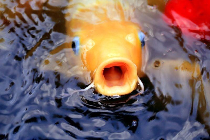 Gambar Ciri Ciri Ikan Hias sakit Atau Stres-Ikan Koi Megap Megap Di Permukaan Air