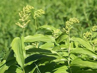 Maïanthème à grappes - Smilacine à grappes - Maianthemum racemosum