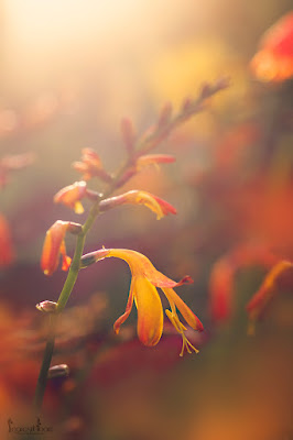 Crocosmia at sunset
