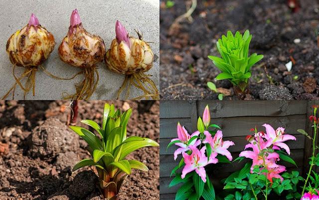 cách trồng hoa ly bằng củ