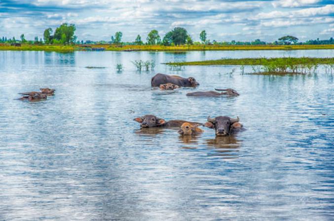 bufalos-vetarq