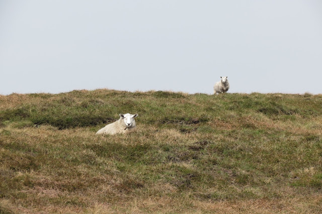 Two sheep stare at me as I head uphill.