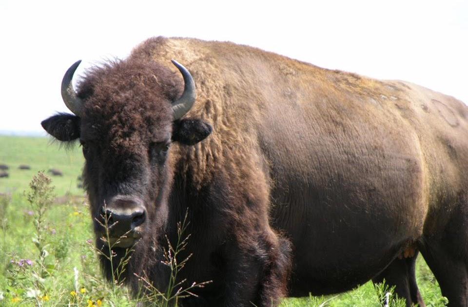 what do buffalos look like