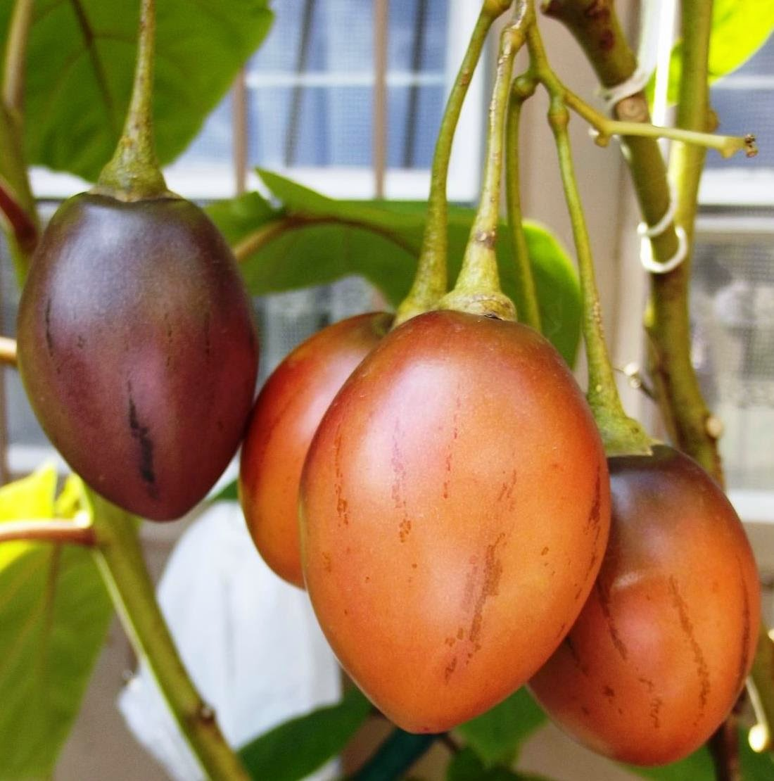 roots u0027n u0027 shoots tamarillo tree tomato how to grow fruit of