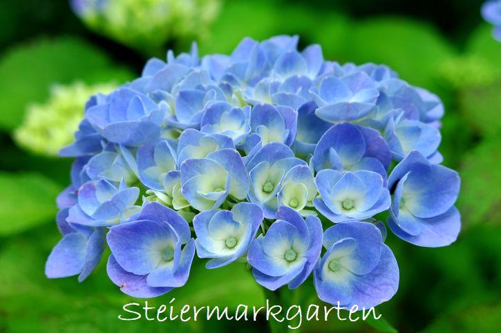 Bauernhortensie-blau-Blüten-Steiermarkgarten