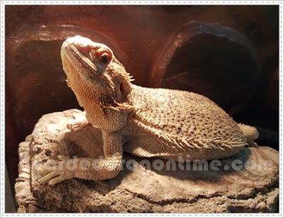 Tell if bearded dragon male female