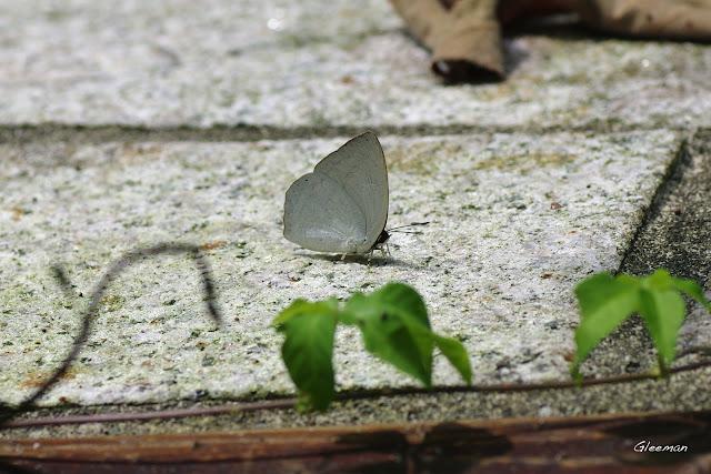 雞南山散步,銀灰蝶