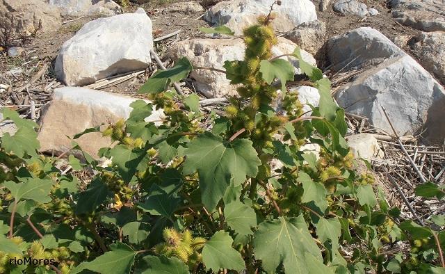 Cadillos o Bardana común Xanthium strumarium playas de Málaga