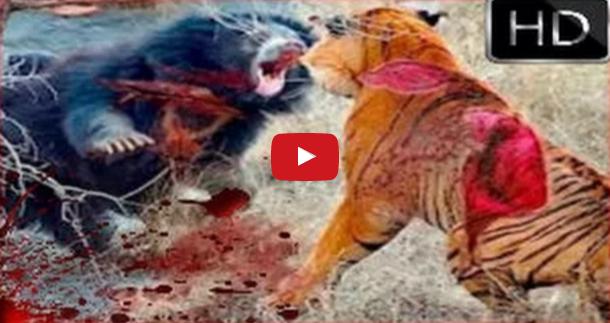 Animal Fights Attacks Real Fight Lion Vs Tiger Vs