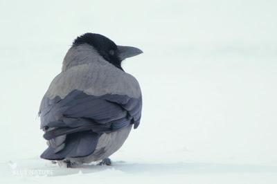 Corneja cenicienta - Hooded crow - Corvus cornix. Completamente bicolor, con un gris cenizo y un negro típico de córvido.