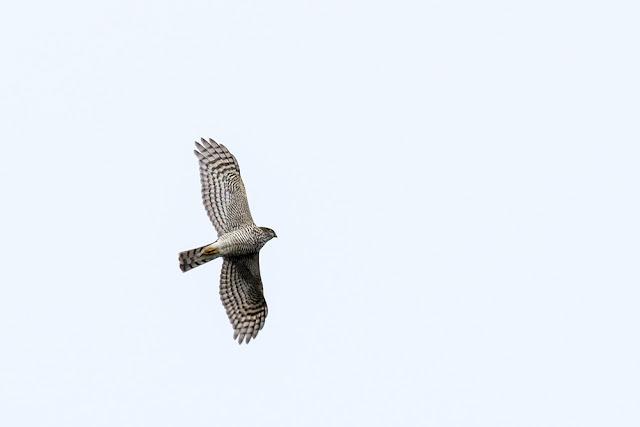 Banking Sparrowhawk