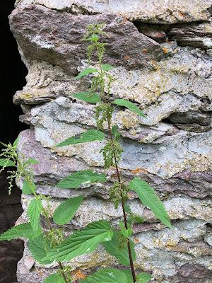 [Urticaceae] Urtica dioica – Stinging Nettle (Ortica comune)