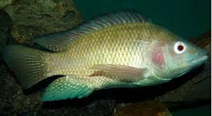ikan tilapia untuk ibu hamil
