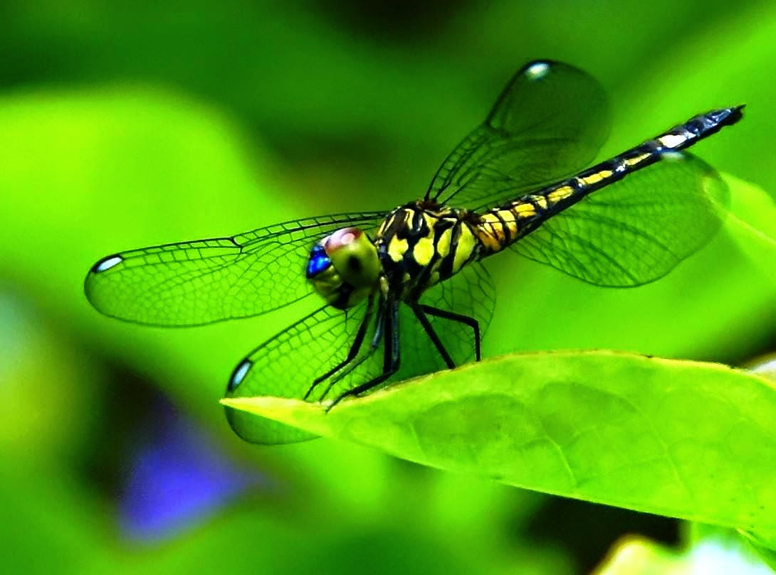 Imo Green Dragonfly Life Cycle