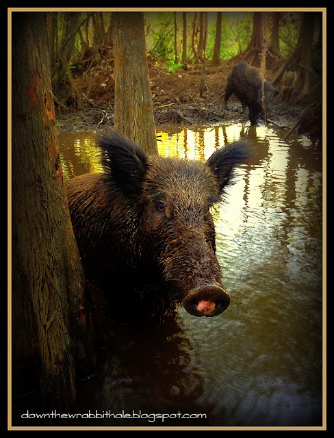 Cajun Encounters Swamp Tour, New Orleans Swamp, Louisiana wild pigs