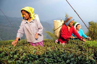 Tea garden worker in Darjeeling