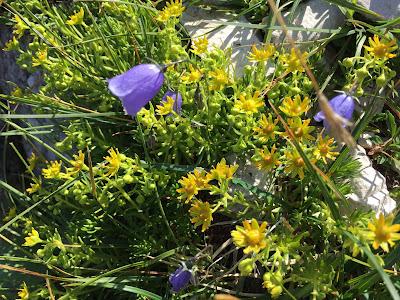Saxifraga aizoides – Yellow Saxifrage (Sassifraga gialla).
