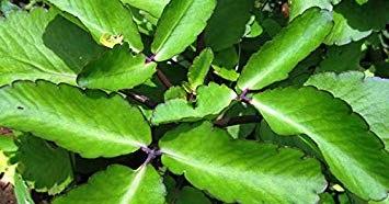 Bryophyllum pinnatum – Air Plant, Life Plant, Miracle Leaf