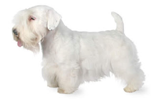 Everything about your Sealyham Terrier
