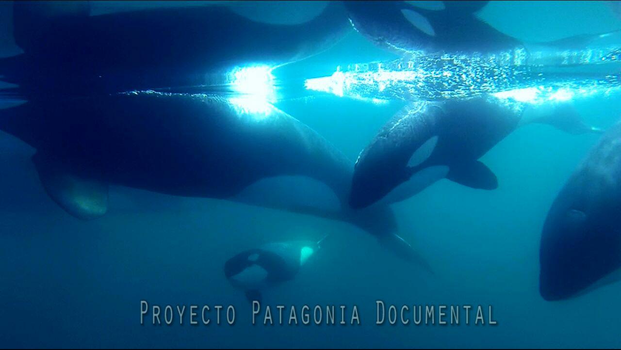 orcas en Puerto Piramides