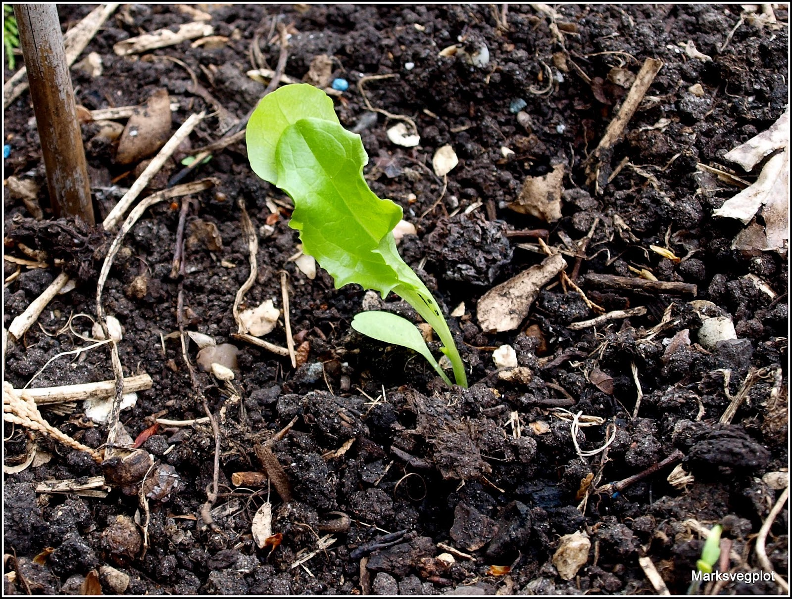 lettuce seedlings floppy