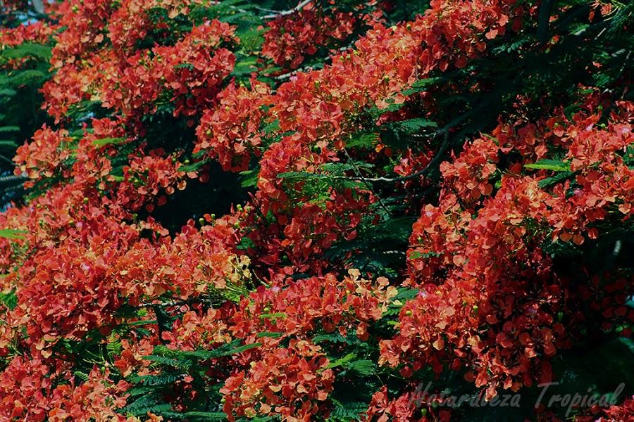 Floración abundante de un Framboyán, Delonix regia