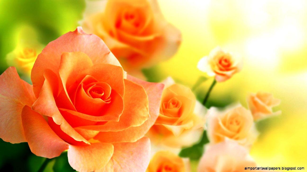 Orange Rose Flowers | Important Wallpapers