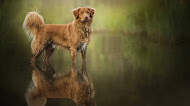 Dog in lake,wallpaper,reflection,hd photo