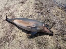 Νεκρό δελφίνι στην παραλία Καλάμια στην Κόρινθο
