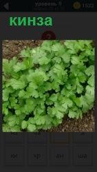 Ароматическое растение  в кулинарии кинза, которая бурно растет на грядке