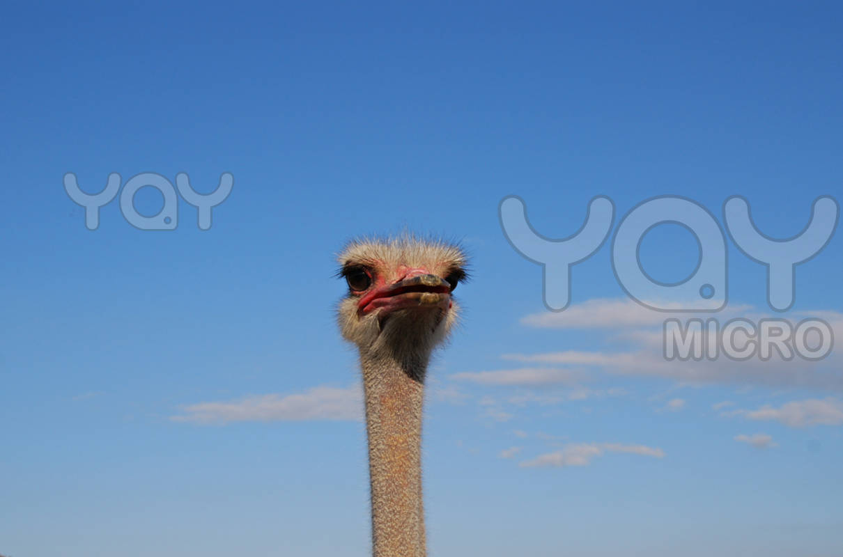 Funny ostrich picture for desktop |Funny Animal Rasta Lion Wallpapers