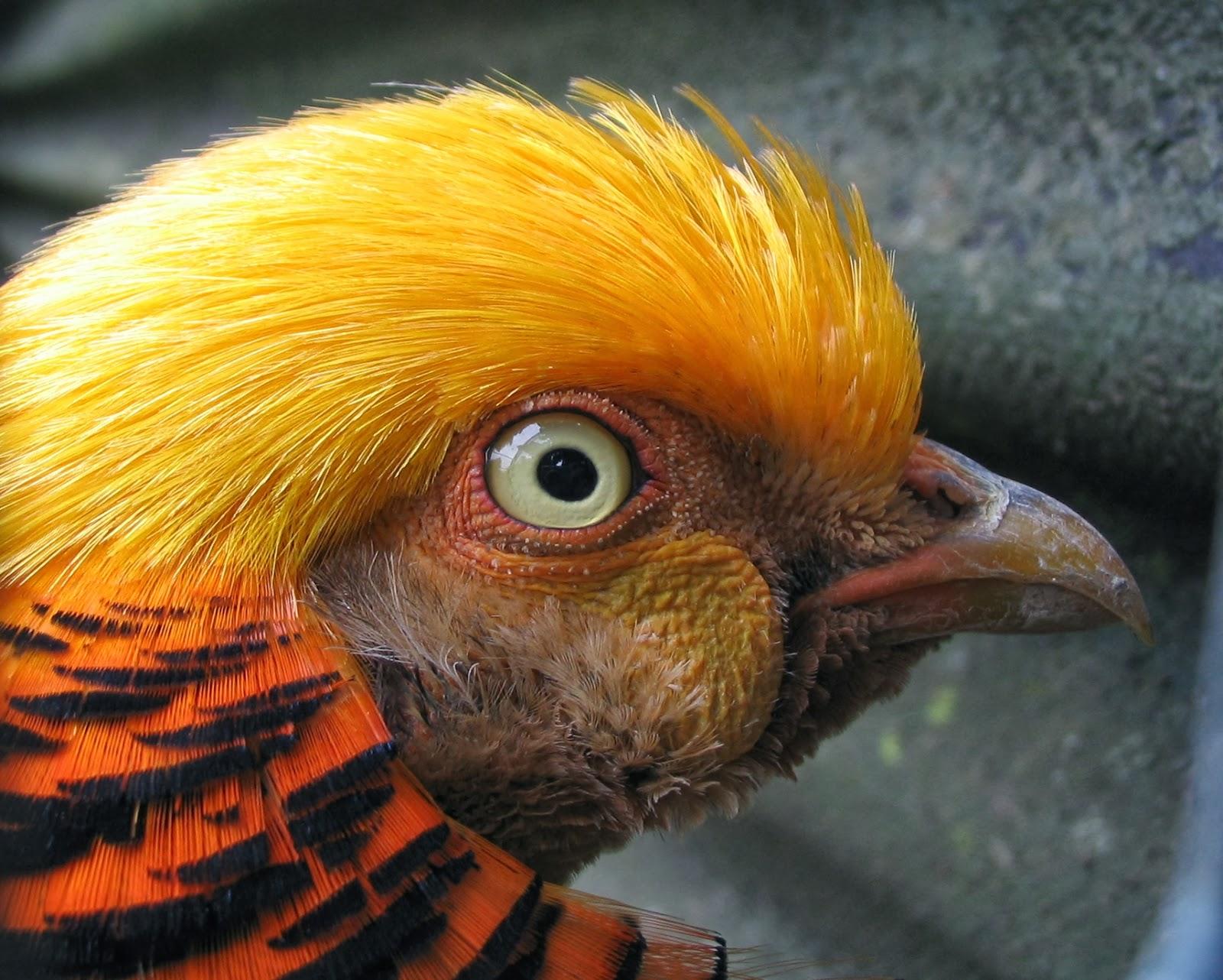 Golden Pheasant ~ Birds World