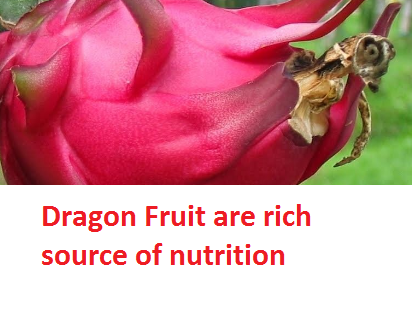 Dragon Fruit are rich source of nutrition